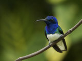 Male White-Necked Jacobin Hummingbird Perched on a Twig