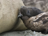 Skua Stealing Milk from a Nursing Elephant Seal Pup