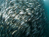Pacific Herring Swim in a Large Ball for Safety in Numbers