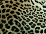 Detail of the Rosette Spots on a Leopard's Coat  Panthera Pardus