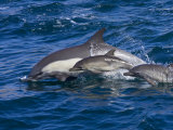 Long-Beaked Common Dolphins  Delphinus Capensis  Leaping and Swimming