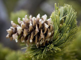 Close Up of a Bristlecone Pine