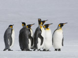 King Penguins Out for a Stroll in the Snow
