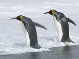 King Penguins Entering the Surf from a Beach