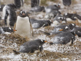 Gentoo Penguins on their Nests During a Snow Storm