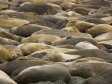 Herd of Elephant Seals Resting on a Beach