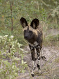 Alert and Inquisitive Wild Cape Hunting Dog