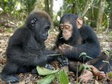 Baby Gorilla and a Chimpanzee Examining Leaves Papier Photo par Michael Polzia