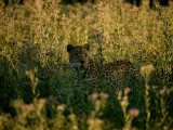 Leopar  Panthera Pardus  Among Tall Wildflowers