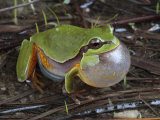 Male Pine Barrens Tree Frog  Hyla Andersoni  Calling for a Mate