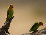 Fischer&#39;s Lovebirds Perch on a Branch
