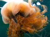 Close Up of a Lion&#39;s Mane Jellyfish  Cyanea Capillata