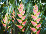 Cluster of Heliconia Plants