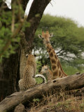 Leopard (Panthera Pardus) Sitting on Tree Branch Looking at Giraffe