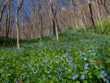 Virginia Bluebells  Mertensia Virginicais  Herald Spring in a Forest