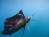 Sailfish with Raised Dorsal Fin