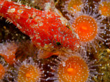 Red Sculpin  Procottus Jeittelesii  Among Sea Anemones
