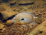 Bluegill Sunfish Swimming Near the Bottom of a Clear Mountain Creek