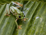 Pair of Breeding Gliding Tree Frogs on Palm Leaf