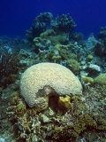 Underwater Caribbean Reefscape with Brain and Other Corals
