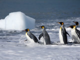 King Penguins Entering the Water Near a Floating Hunk of Ice