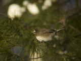Dark-Eyed Junco in a Pine Tree