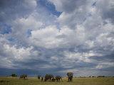 Herd of African Elephants Grazing Grasslands under Cloud-Filled Sky
