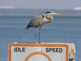 Great Blue Heron Standing on a Boating Sign