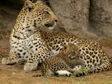 Leopard  Panthera Pardus  Resting with Her Cub