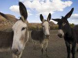Donkeys Peer at the Camera in a Desert Scene