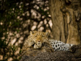 Leopard Resting on a Large Tree Limb