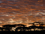 Acacia Trees at Sunrise in the Serengeti National Park