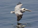 Brown Pelican in Flight  Low over Water