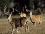 Male Mule Deer  in Velvet  Look Up from Grazing