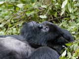 Portrait of a Resting Mountain Gorilla Belonging to Group 13