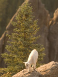 Baby Mountain Goat Stands on Rock Formations in Custer State Park