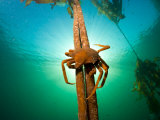 Northern Kelp Crab  Pugettia Producta  Clinging to a Kelp Stalk