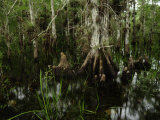 Cypress Trees in the Everglades
