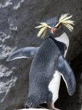 Portrait of a Rockhopper Penguin  Eudyptes Crestatus