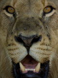 Close View of the Face of an African Lion  Panthera Leo