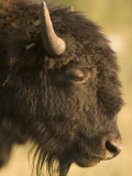 Close-up of the Head of a Bison in Custer State Park  South Dakota