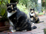 Colorful Pair of Calico Cats on the Brick Sidewalk