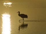 Sandhill Crane at the Bosque Del Apache National Wildlife Refuge