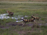Wild Cape Hunting Dogs Chasing Spotted Hyena in Flooded Grassland