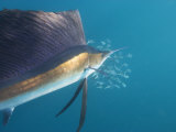Sailfish Circle a School of Sardines Broken Off from a Larger School