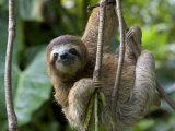 Young Brown-Throated Three-Toed Sloth Hanging from a Branch Papier Photo par Roy Toft