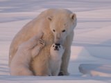 Polar Bear with Her Cubs in a Snowy Landscape at Twilight