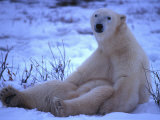 Polar Bear Sits in the Snow