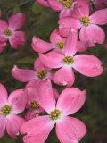 Cluster of Pink Dogwood Flowers  Cornus Florida Rubra