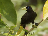 Portrait of a Crested Oropendola  Perched in a Tree